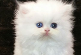 Available White Persian Kittens, Available Silver Persian
